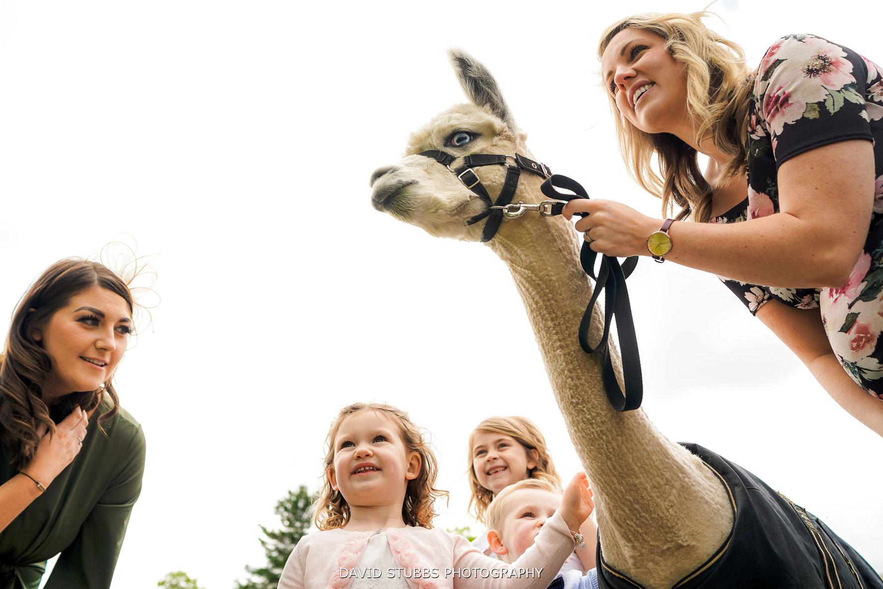 llamas at lingholm estate wedding