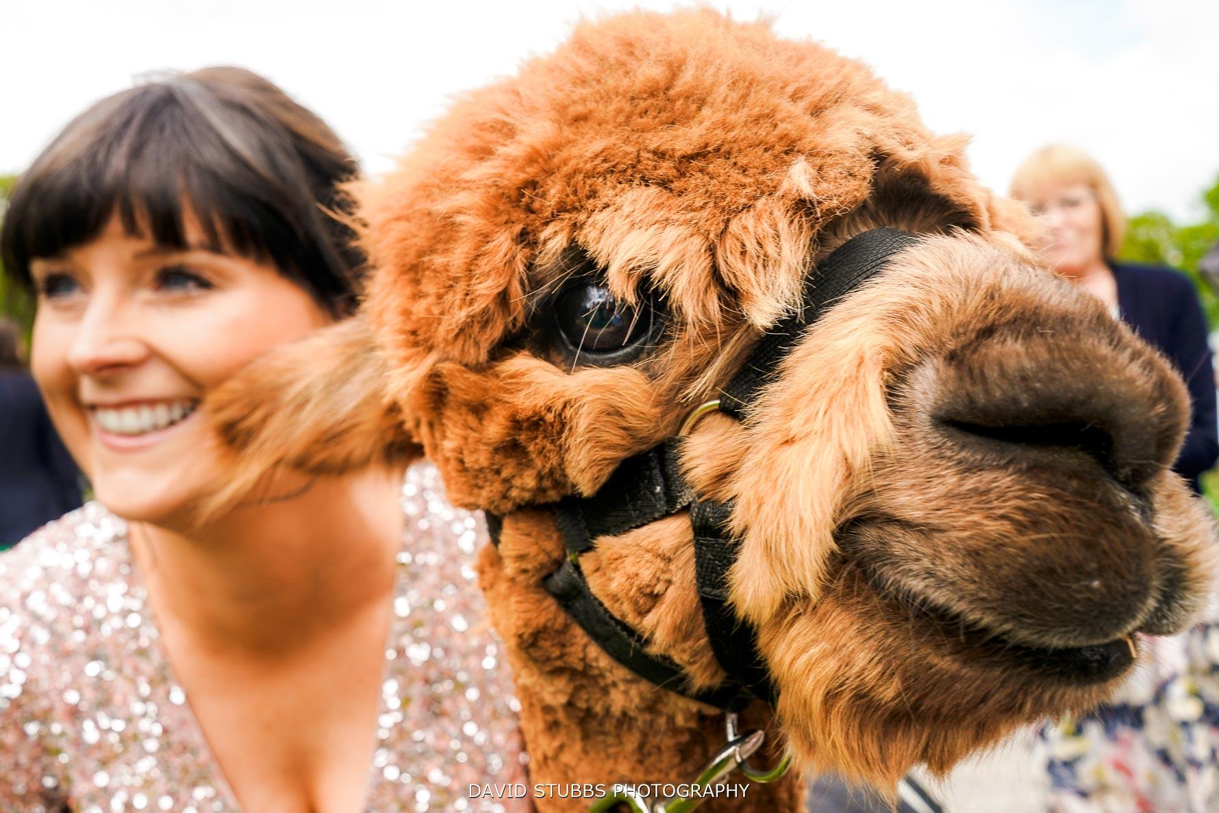 llama at wedding at lingholm estate
