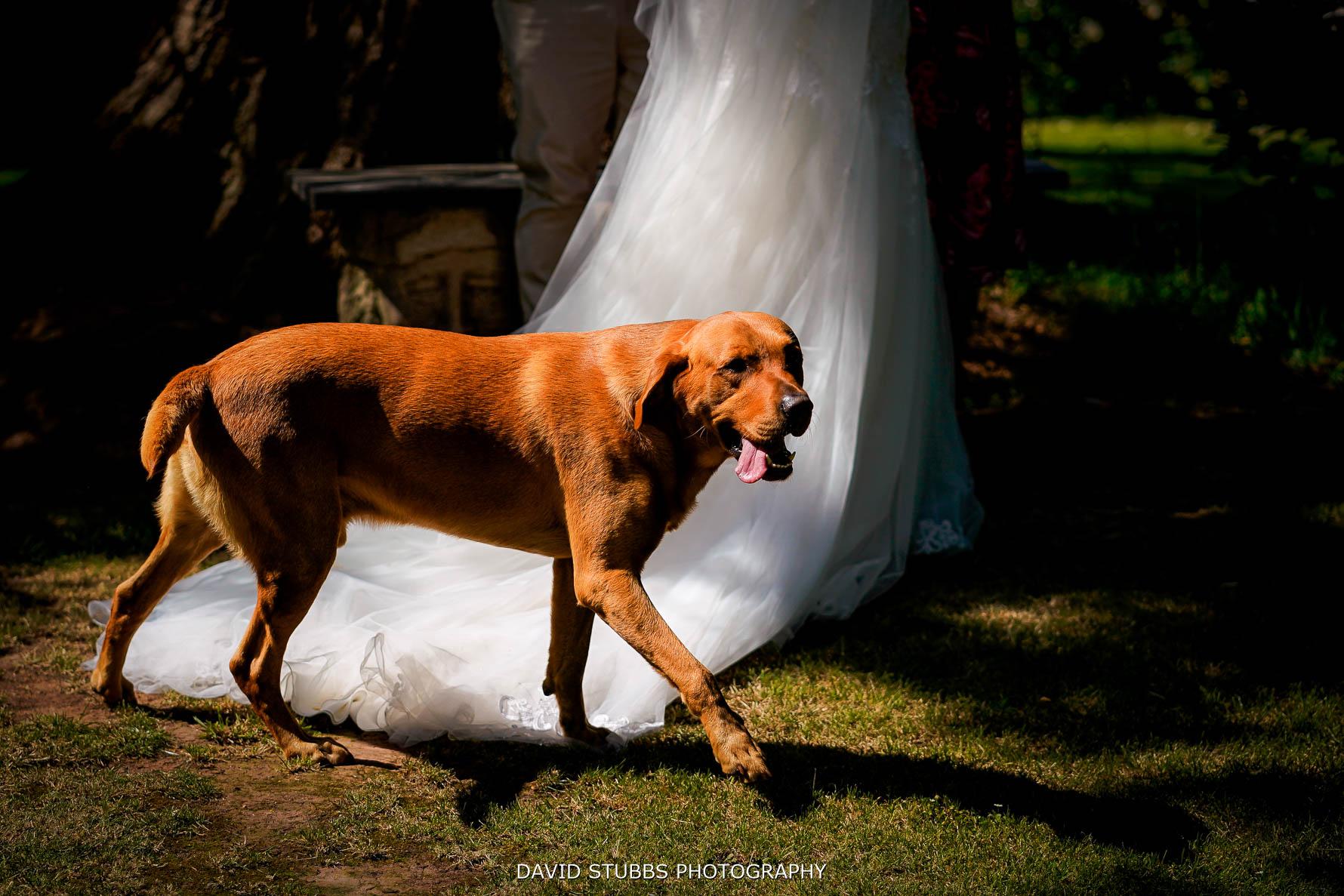 dog walking past the wedding dress